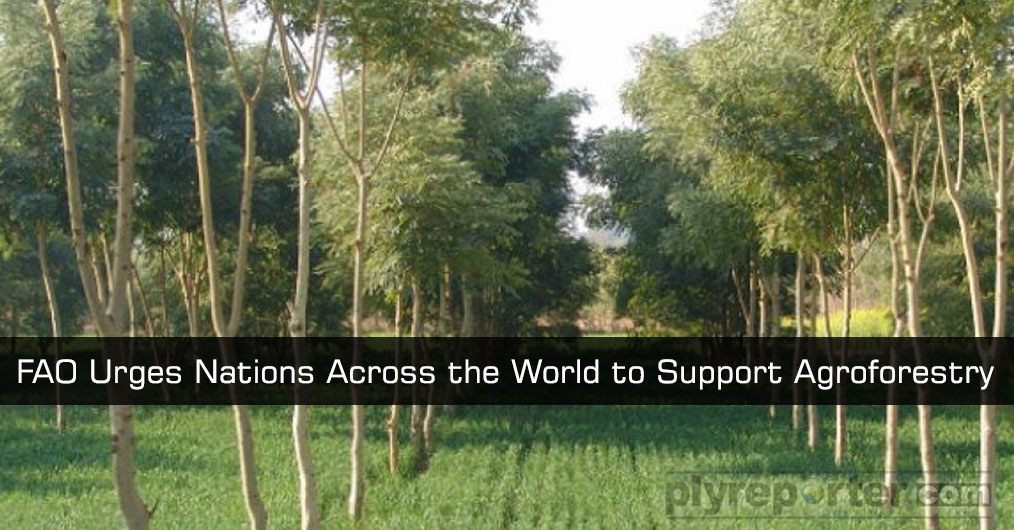 More robust policy support is needed to reap the benefits of growing trees near crops and livestock, the United Nations Food and Agriculture Organisation
