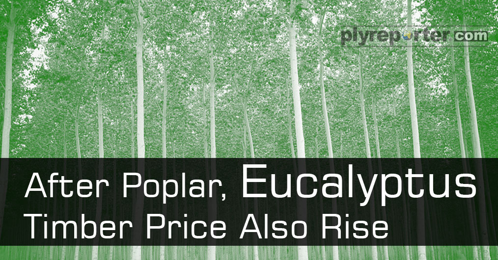 Eucalyptus emerged as a rescue raw material since a year for plywood industries. It played as cushion for manufacturers but now it is also catching up with the poplar prices.