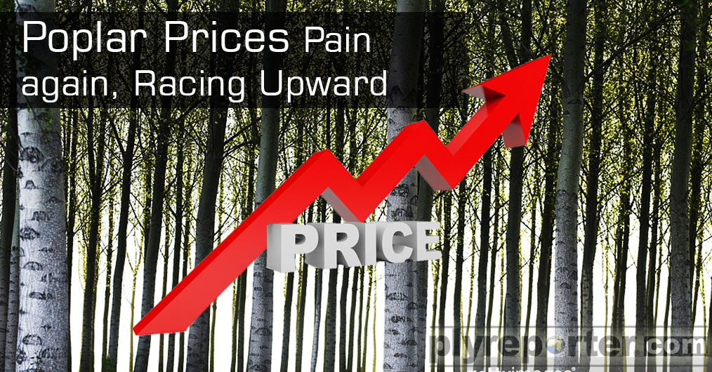 Poplar is once again back on rising spree. There was a brief pause in poplar prices due to demand and supply mismatch during mid-November to mid-December