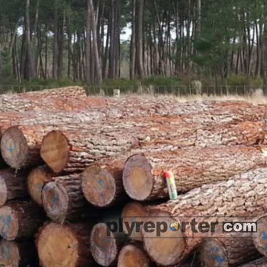 Imported Pine Logs Price Drops By 25% In India