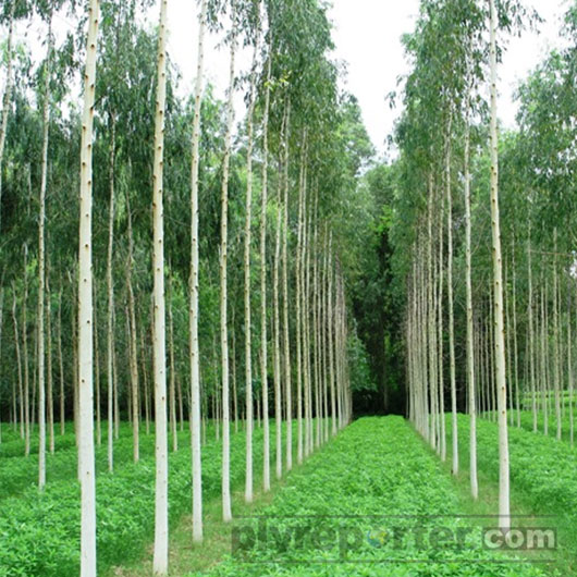 Punjab Govt To Conduct A Survey On Availability Of Eucalyptus & Poplar Trees In The State